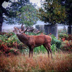 The Spectacular Deer Rut at Bushy Park in Hampton, London: The dawn chorus, Bushy Park style...