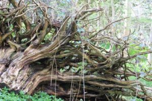 The Majestic Trees of Cliveden Woods in Taplow, Berkshire